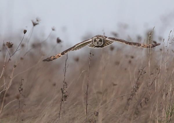 Short Eared Owls by NeilSchofield