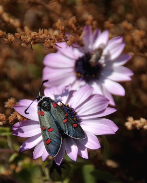 Burnett Moth by jdenman