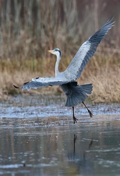 Grey  Heron by HenB