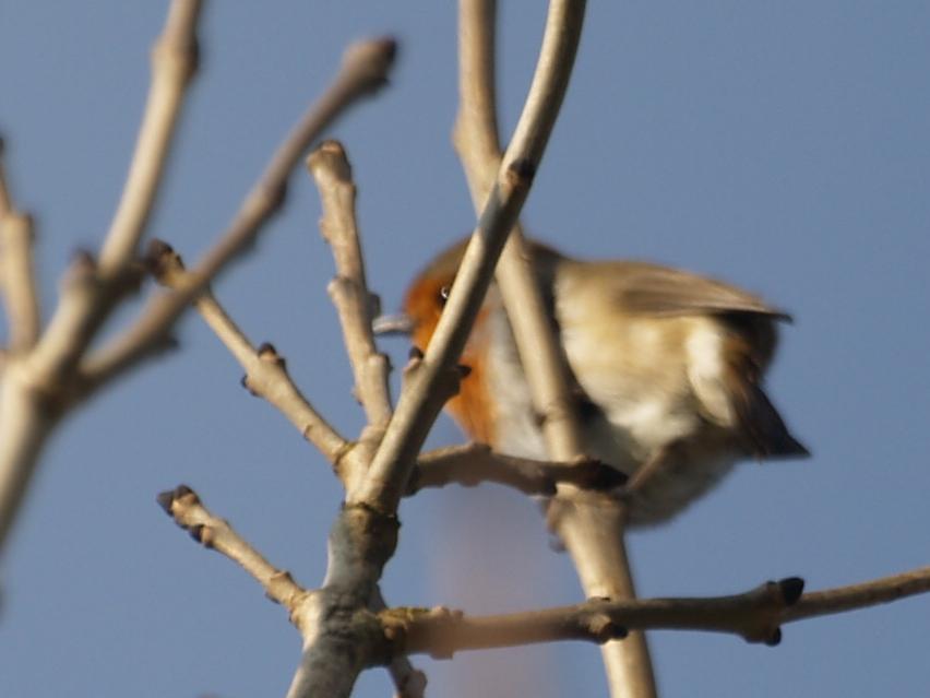 Robin in a tree.