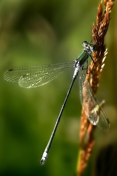 Emerald Damselfly by TonyDy