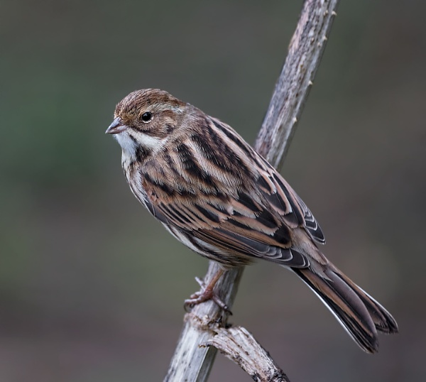 Reed Bunting by Ray_Seagrove
