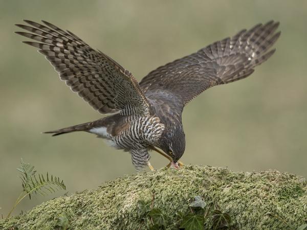 Fermale Sparrow-hawk - (Wild) by Jamie_MacArthur