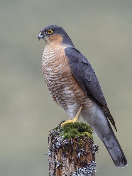 Male Sparrow-hawk by Jamie_MacArthur