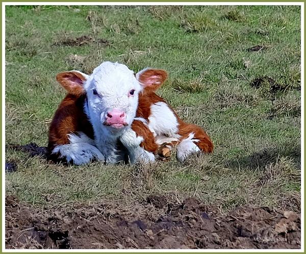 Calf by kaz1