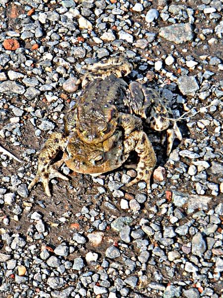 Spring has Sprung.  Toads. by Gypsyman