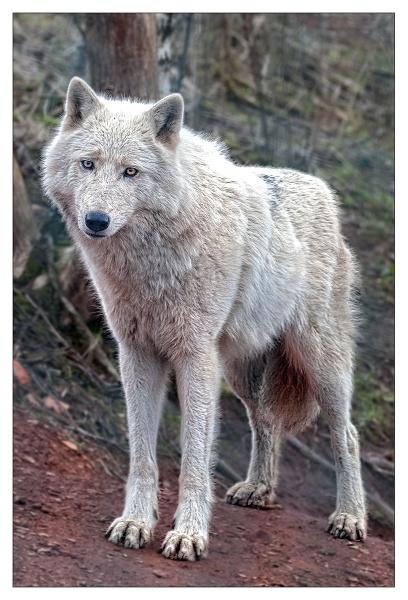 Artic Wolf by Steinmachine
