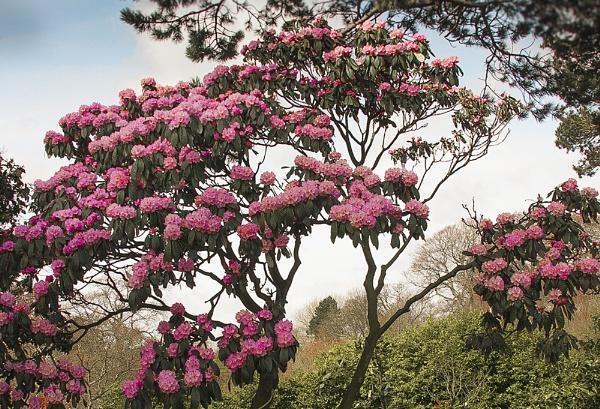 rhododendron by derekp