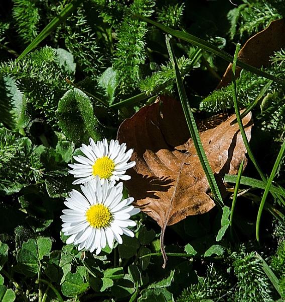 Daisy daisy - Saturday Shadows by Alda