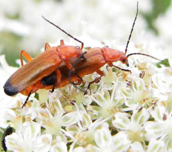Solider Beetles by Mototaur