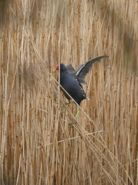 Moor Hen on Reeds by Ted447