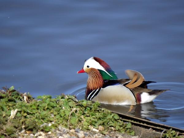 Mandarin duck by DerekHollis