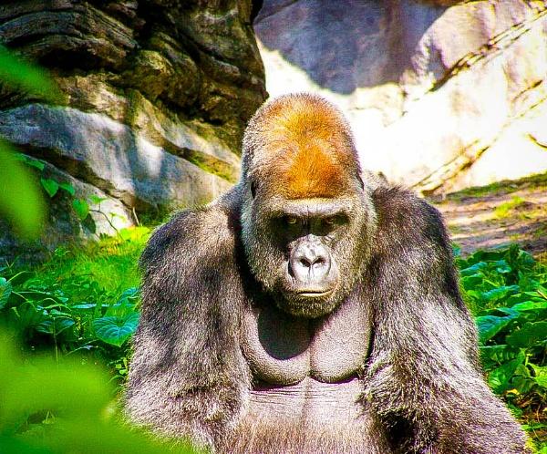 Gorilla at The Animal Kingdom in Walt Disney World by Nick_El