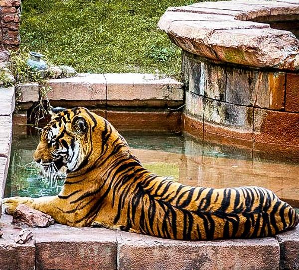 Tiger at the Animal Kingdom in Walt Disney World by Nick_El