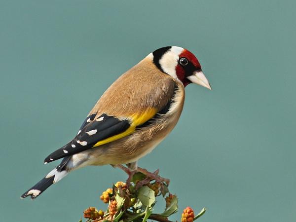 Goldfinch on Berberis. by bobpaige1