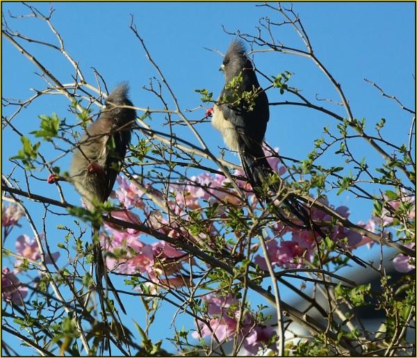 Mousebirds   (Colius striatus) by Moebee