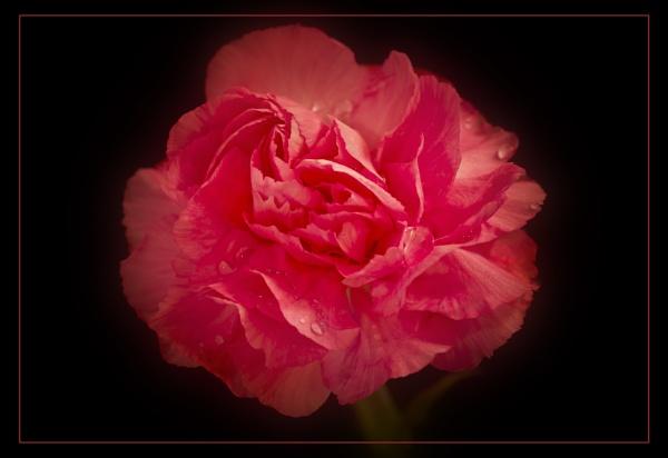 Carnation by Umberto_V