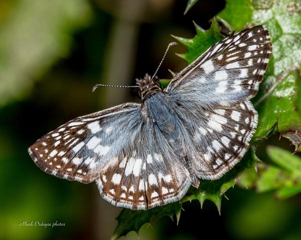 Hairy moth by mordoyne