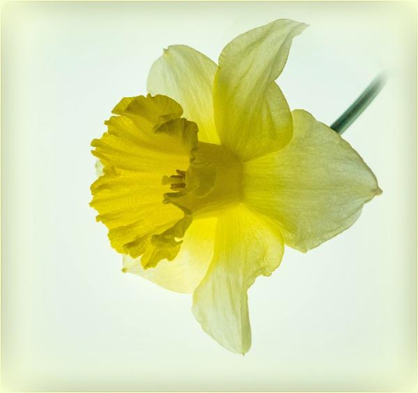 Impression of a Daffodil by annswarren