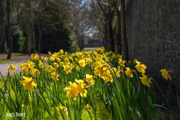 Vintage Lens Springtime Daffodils by jameswburke