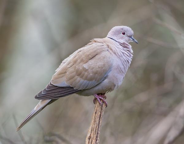 Collard Dove by Paintman