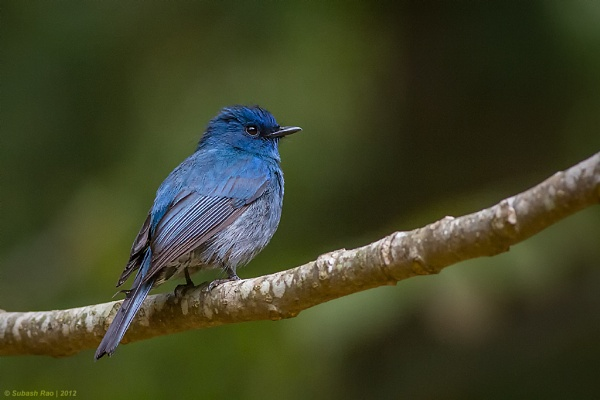 Nilgiri Flycatcher [Male] by subashcr