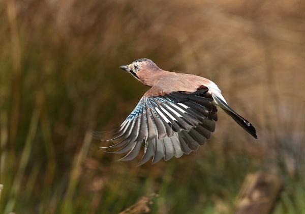 In flight Jay by HenB