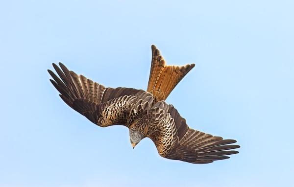 Red Kite (Milvus milvus) by Ray_Seagrove
