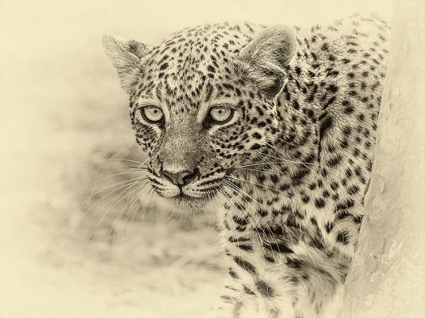 Botswana Leopard by Jamie_MacArthur
