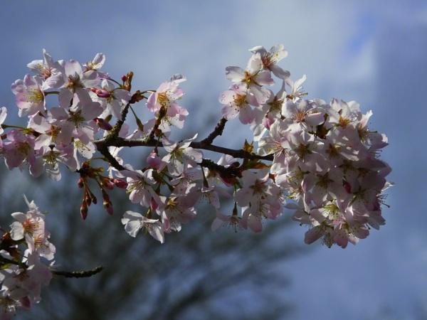 Blossom Bokeh by ianmoorcroft