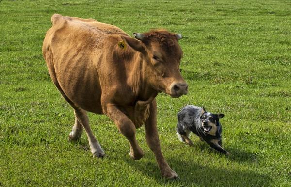Herding Cattle by jbsaladino