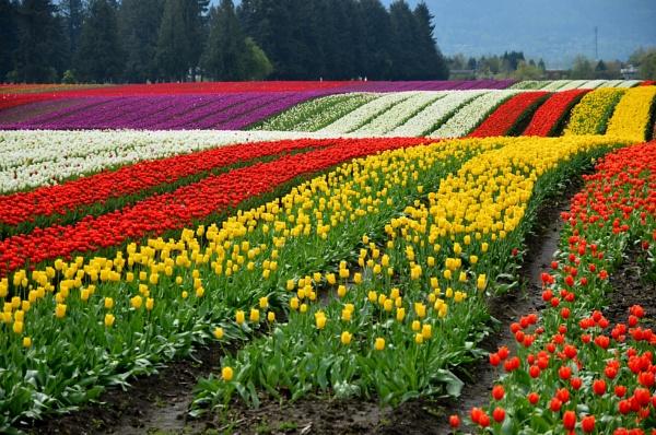 Tulip Field in Greendale BC CA by DouglasMorley