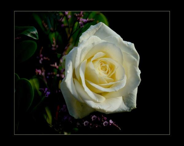 Dreamy Cream by sweetpea62
