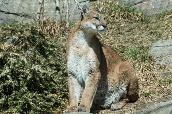 Mountain Lion by StrayCat
