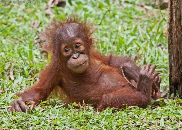 Baby Orang Utans At Sepilok Centre, Sabah, Borneo by brian17302