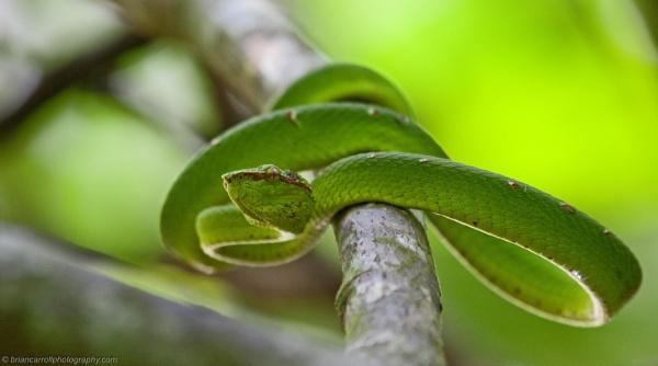 Asian Pit Viper, Sarawak, Borneo by brian17302