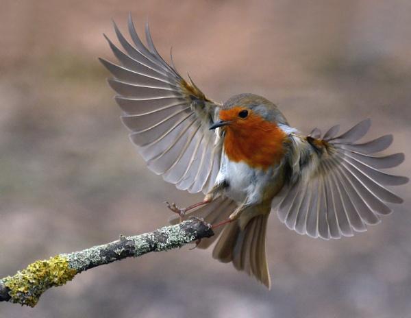 Robin in a flap by Holmewood