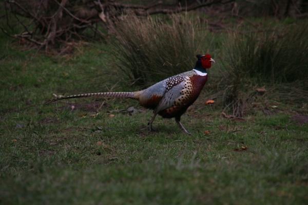 Ring-necked Pheasant - Trentham Gardens by Jeremy_Smith