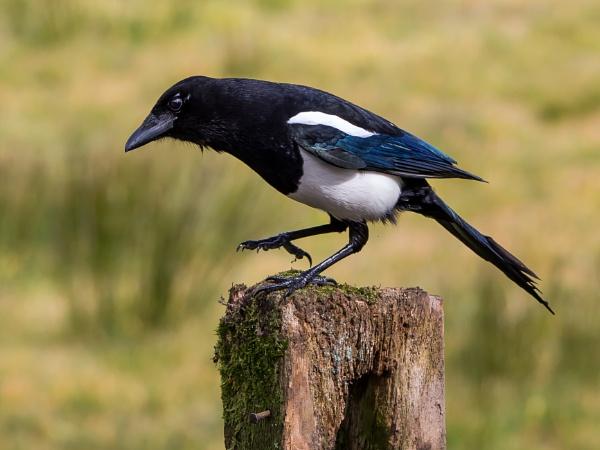 Dancing Magpie by Stevetheroofer