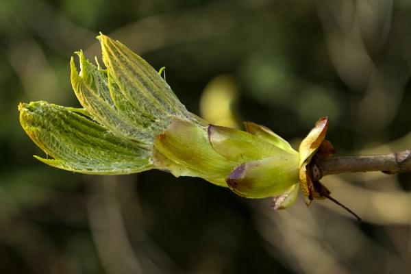 Green Buds Unfurling. by Paulbee