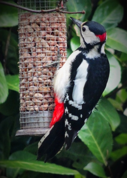 Great Spotted Woodpecker by Chas05