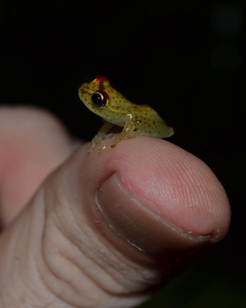 "\""Life in Miniature\"" - Boophis tasymena in Madagascar. by MantellaMan"