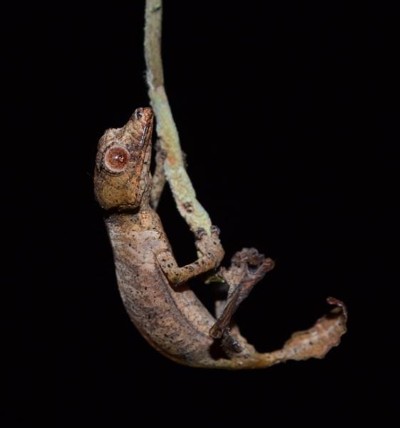"\""I am not Satan, I\'m  a dead leaf!\"" - Satanic Leaf-Tailed Gecko (Uroplatus phantasticus) hatchling. by MantellaMan"
