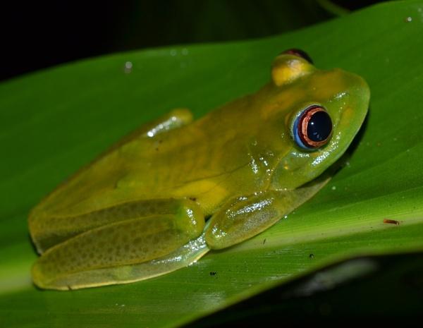 Boophis luteus female specimen in Madagascar. by MantellaMan