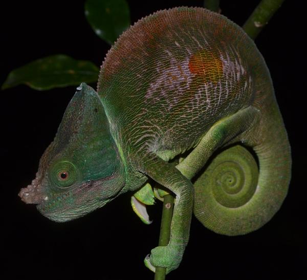 "\""Life in Multicolour\"" - Calumma parsonii cristifer male specimen, Madagascar. by MantellaMan"
