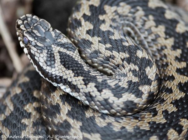 Adder nuff of all this rain! by Andyjonno