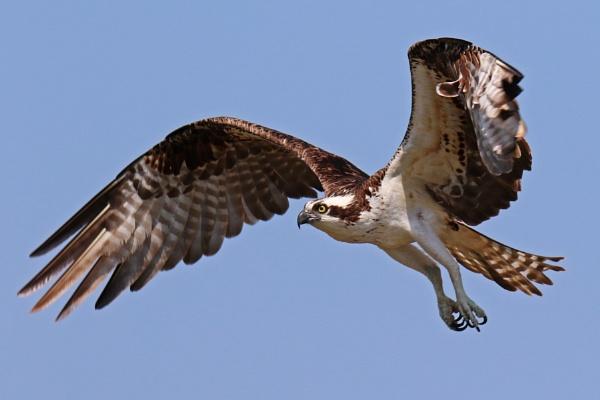 Osprey in Flight by BHSDallas