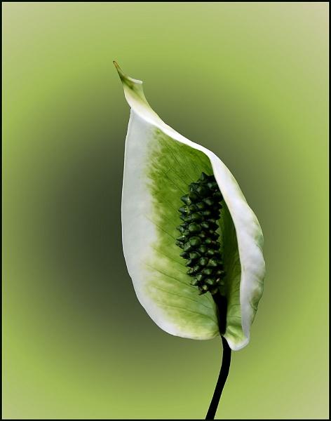 Spathiphyllum by pamelajean