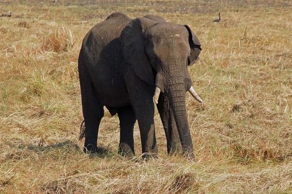 Elephant - Chobe by jinstone