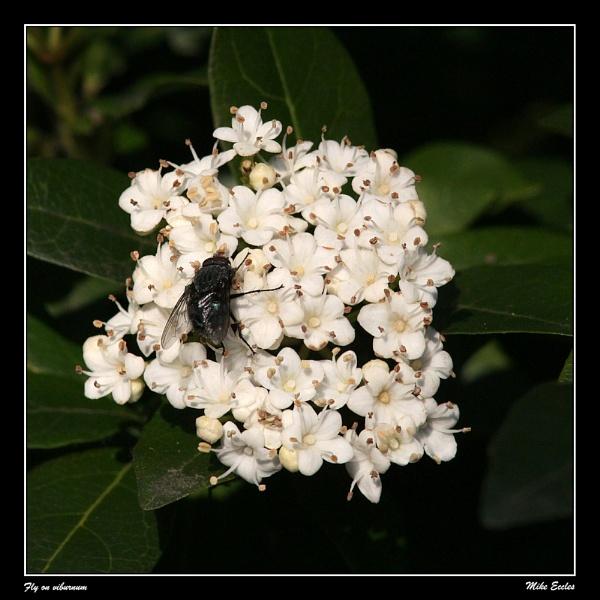 Fly on viburnum by oldgreyheron